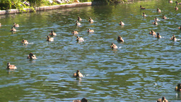 HD2008-8-4-37 water ducks Stock Video Footage