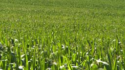 HD2008-8-4-50 corn field Stock Video Footage
