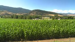 HD2008-8-4-52 corn field Stock Video Footage