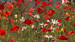 HD2008-8-8-30 flowers Stock Video Footage