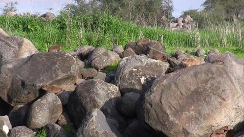 Rock Hyrax shrewmouse Hyracoid Footage