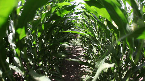 Walking in corn field Footage