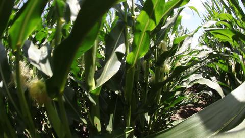 Walking in corn field Footage
