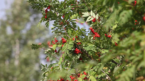Rowan tree with red berry in the wind Footage