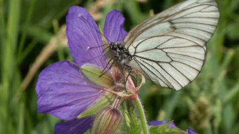 Black Veined White Butterfly 3 stock footage