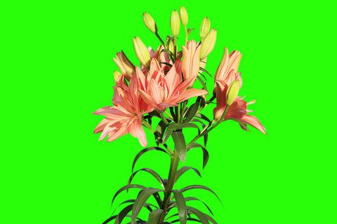4K. Blooming orange lily flower buds green screen Footage