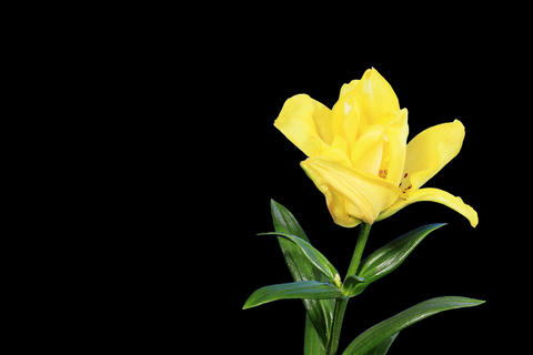 4K. Blooming yellow lily flower buds ALPHA matte,  Live Action