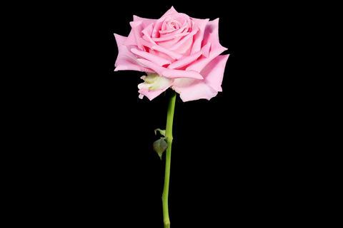 4K. Blooming pink roses flower buds ALPHA matte, U Footage