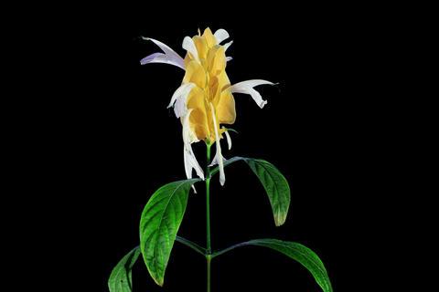 4K. Time-lapse opening yellow pahistahis flower bu Footage