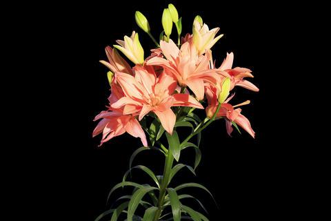 4K. Blooming orange lily flower buds ALPHA matte Live Action