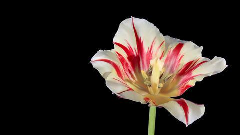 Yellow tulip bloom buds ALPHA matte, FULL HD (Tuli Stock Video Footage