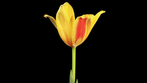 Yellow tulip bloom buds ALPHA matte, FULL HD (Tuli Stock Video Footage