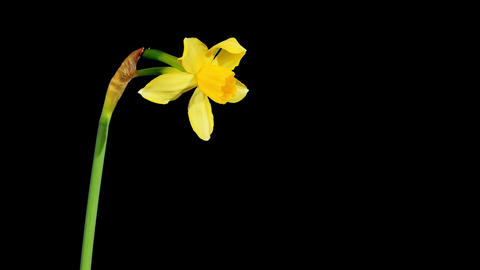 Yellow narcissus blossom buds ALPHA matte, FULL HD Stock Video Footage
