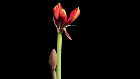Growth of red hippeastrum flower buds ALPHA matte, Stock Video Footage