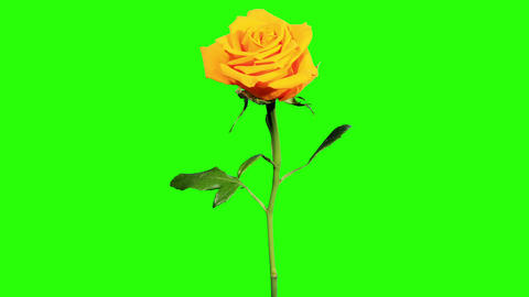 Blooming yellow roses flower buds green screen, FU Stock Video Footage