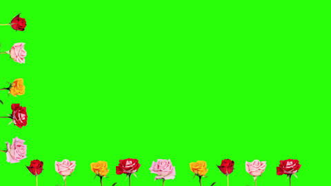 Frame of blooming roses time-lapse with green scre Stock Video Footage