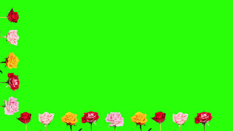 Frame of blooming roses time-lapse with green scre Footage