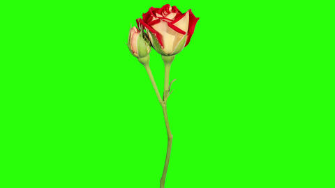Blooming red roses flower buds green screen, FULL Stock Video Footage