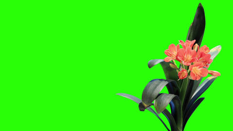 Growth of Clivia flower buds green screen, FULL HD Live Action