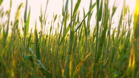 Young Wheat Close-Up at Dawn Stock Video Footage