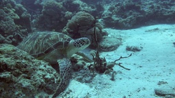 Green Sea Turtle Scratching Its Belly On Ocean stock footage