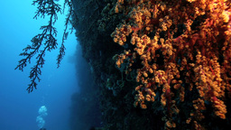 Soft Corals On Reef Wall Illuminated By Artificial stock footage