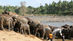 Mahouts Giving Elephants A Last Splash Before They stock footage