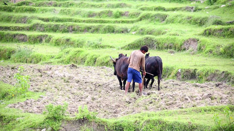 POKHARA, NEPAL - JUNE 2013: farmer plowing with ox Footage