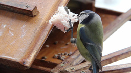 Blue Tit (Cyanistes caeruleus) eating pork fat Stock Video Footage