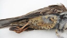 Dead bird (mistle thrush) lying in the snow Footage