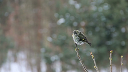 Eurasian Siskin female sitting on a branch Footage