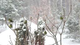 Flock of Eurasian Siskins in a winter landscape Footage