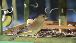 European Greenfinch eating sunflower seeds Live Action