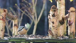 Nuthatch (Sitta europaea) eating sunflower seeds Footage