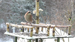 Jay eating pork fat - bird feeder. Winter 2 Footage