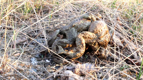 spring toads couple in a grass Footage
