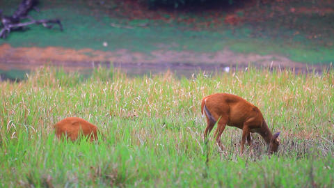 Barking Deer In A Field stock footage