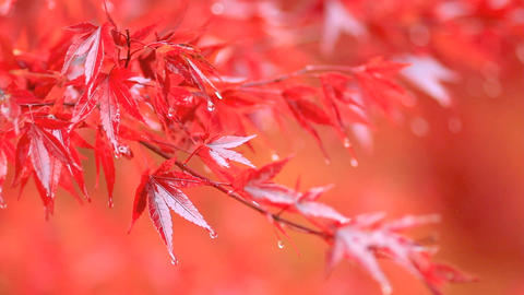 Red maple branch in the rain Stock Video Footage