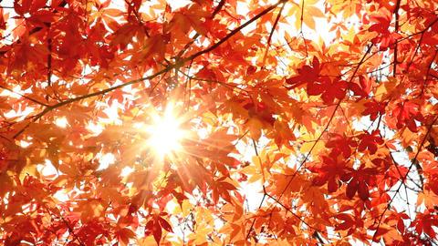 Sun shining through autumn leaves Footage