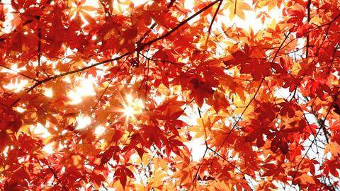 Sun shining through autumn leaves Stock Video Footage