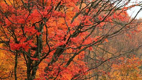 Autumn trees in the rain ライブ動画