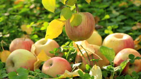 Apples On The Ground stock footage