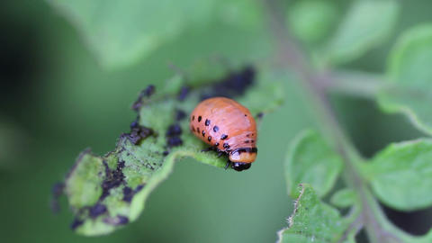 Larva Colorado potato beetle Footage