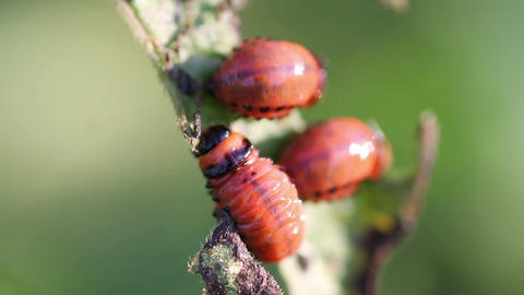 Larva potato beetle Footage