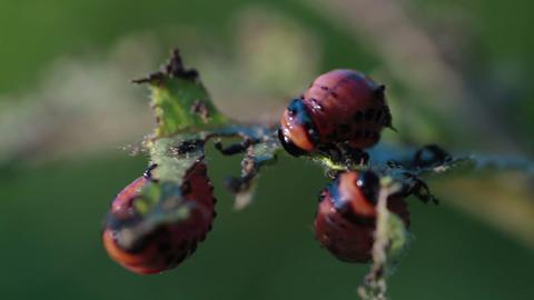 Larvas potato beetle Footage
