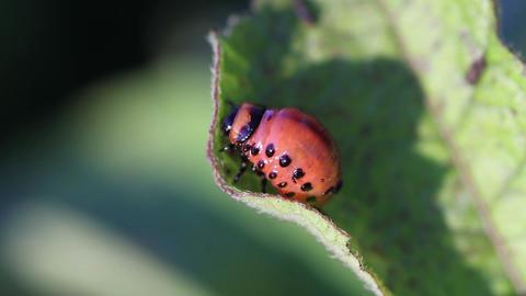 Colorado potato beetle. Larva Footage