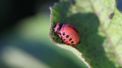 Colorado potato beetle. Larva Stock Video Footage