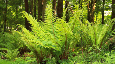 Ferns in the wind Stock Video Footage