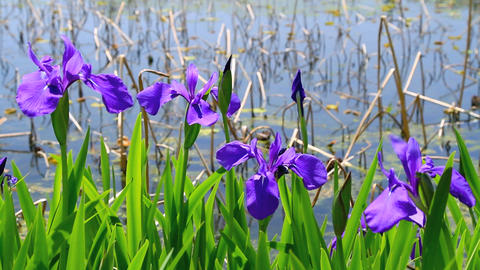 Purple irises Footage