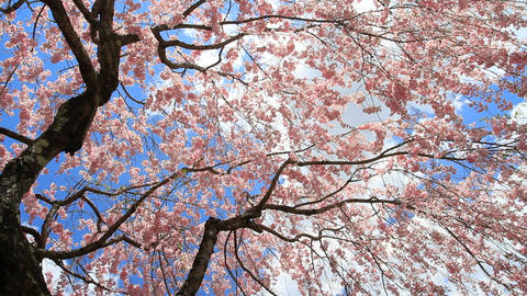 Blossoming cherry tree against the blue sky Stock Video Footage